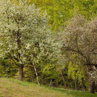 Apfelblüte ,Zwetschke