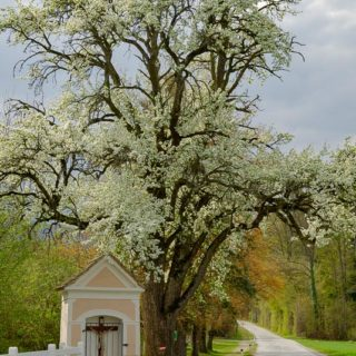 Hirschbirnbaumblüte mit Materl