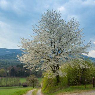Hirschbirnbaum am Straßenrand