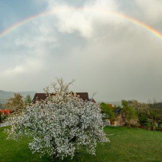 Regenbogen über einen Apfelbaum voller Blüten